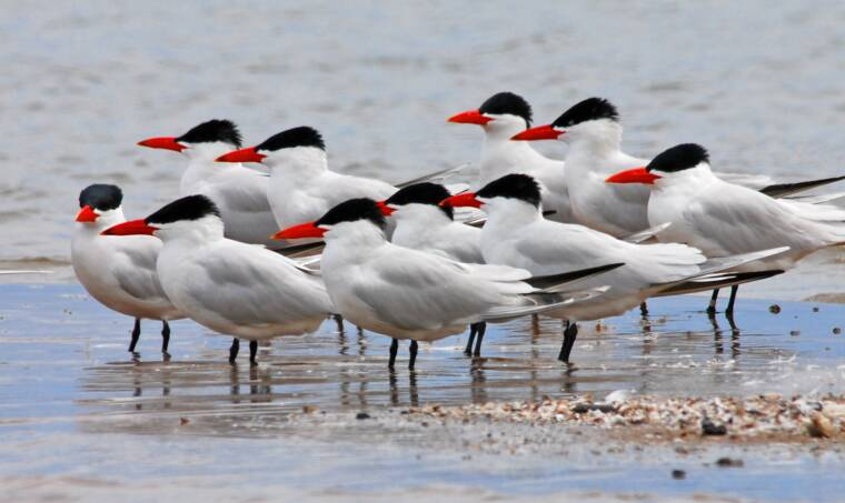 Caspian Terns in Racine