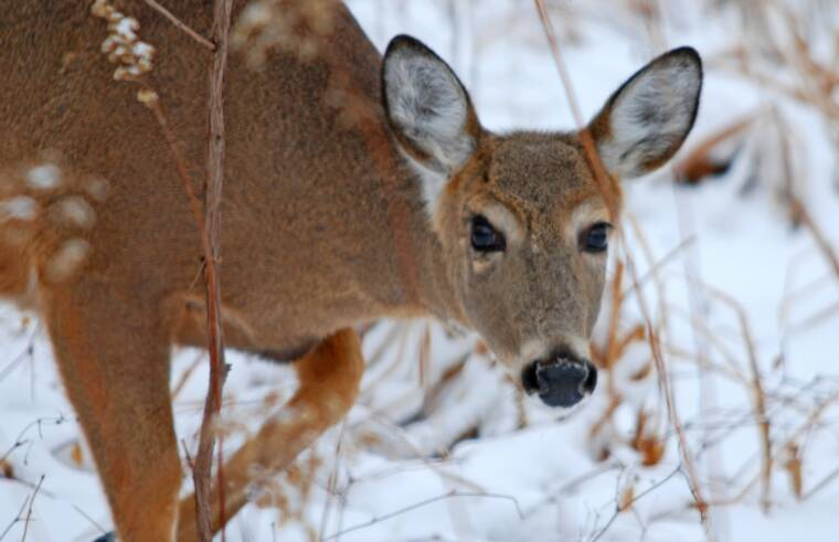 White tail Deer Doe