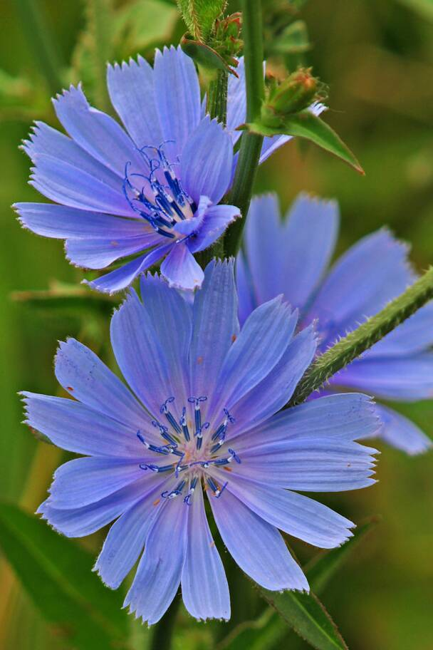 Chickory Plant