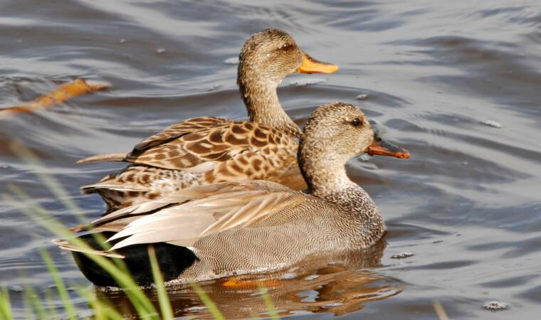 Gadwall Pair at Horicon Marsh