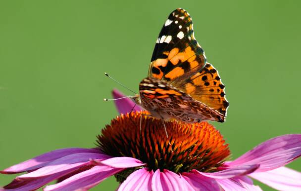 Painted Lady on Cone Flower
