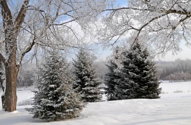 Christmas Trees Illinois