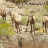 Young Of The Year - Bighorn Sheep