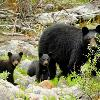 Black Bear and Two Cubs - Jasper NP