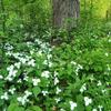 Trilliums In The Woods