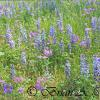Lupine Colors
