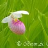 Showy Lady Slipper Bloom Surrounded By Other Lady Slipper Leaves