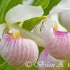 Showy Lady Slippers II