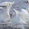 To see the collection of swans photographed at Monticello, MN go to the Bird Gallery link and select Swans.