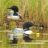 To see the complete collection of Loons photographed in Minnesota go to the Bird Gallery link and select Loons.