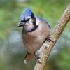 March - Blue Jay