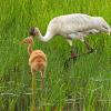 July - Whooping Crane and Colt