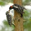 August - Downy Woodpeckers