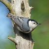 October - White-breasted Nuthatch