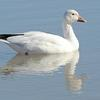 Snow Goose on Water