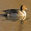 Pintail in Sunrise Light
