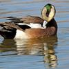 Widgeon Preening