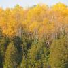 Yellows of the Gunflint Trail