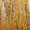 Birches on Arrowhead Trail, MN