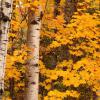 Birch Trees and Maples - Gunflint Trail