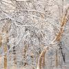 Snow Trees - Abstract