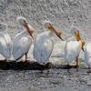 White Pelicans All In A Row