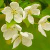 White Flowering Crab