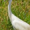 Whooping Crane Profile - Central WI