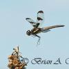 Landing Banded Pennant