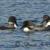 Trio Of Loons