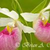 Showy Lady Slippers - MN state flower