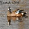 Blue Wing Teal - Horicon Marsh
